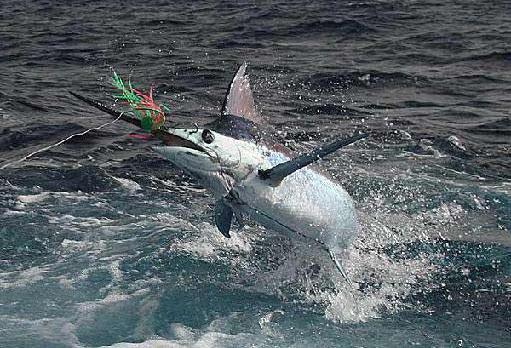 Pesca de altura en Punta Cana, el Marlin ofrece un gran reto para los que gustan de este deporte.