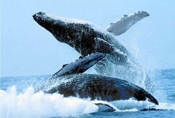 Las ballenas jorobadas son un espectáculo increíble para los amantes de la naturaleza